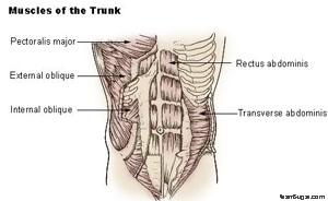 oblique muscles
