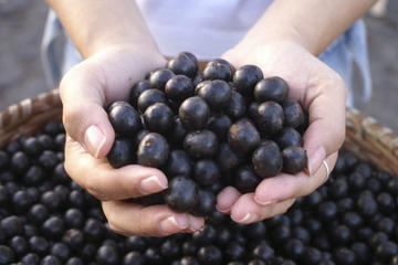 To get the full benefits of eating acai berries, you need to eat them freshly picked.