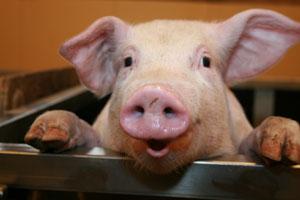 McRib pig