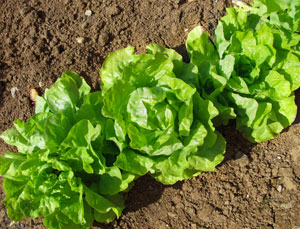 lettuce in a garden bed