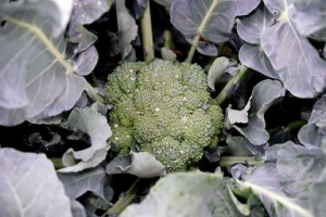 Broccoli Garden Salad Photo