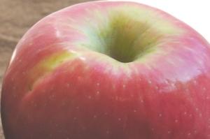Wormy Apples Photo