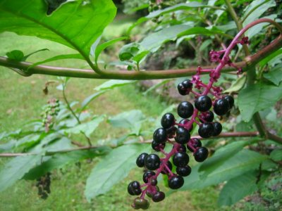 Pokeberry shoots, (poke), cooked, boiled, drained, without salt