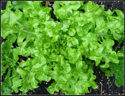 Lettuce, Oak, Leaf, Green