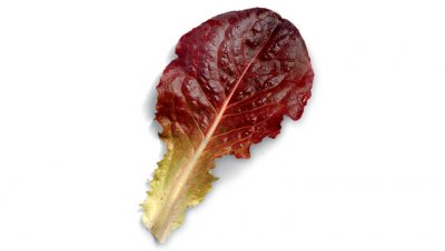 Organic, Lettuce, Mignonette, Compact, Red-Tinged, Butterhead, Varieties