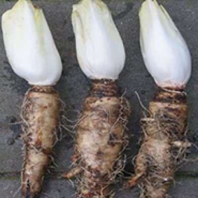 Chicory roots, raw