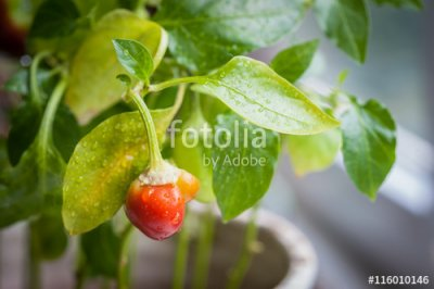 Peppers, Bell, Greenhouse, Red