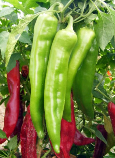 Peppers, New Mexico