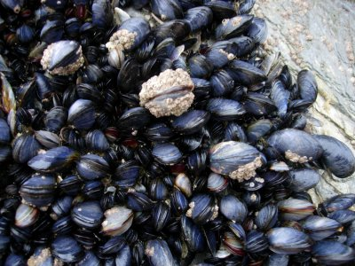 Mollusks, mussel, blue, raw