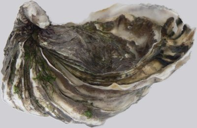Mollusks, oyster, Pacific, raw