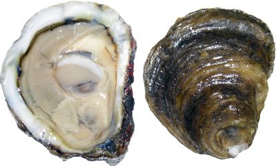 Oyster,Eastern,Wild