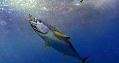 Tuna, Chunk Yellowfin in Water