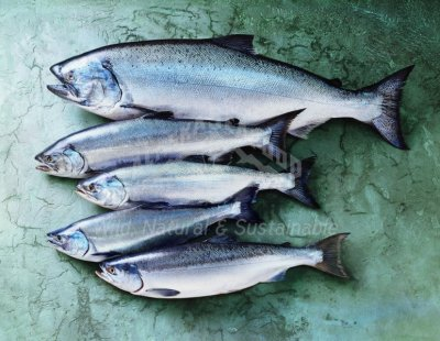 Red Salmon, Wild Alaska, Fancy Blueback