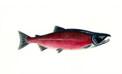 Red Sockeye Salmon