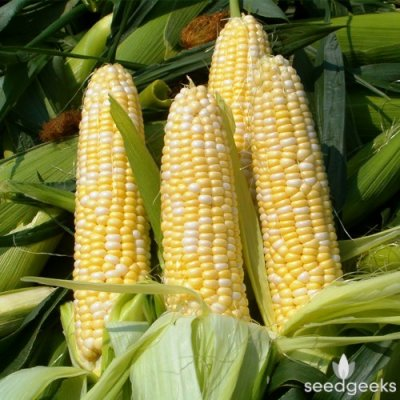 Corn, Golden Sweet