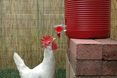 Chicken, White, in Water