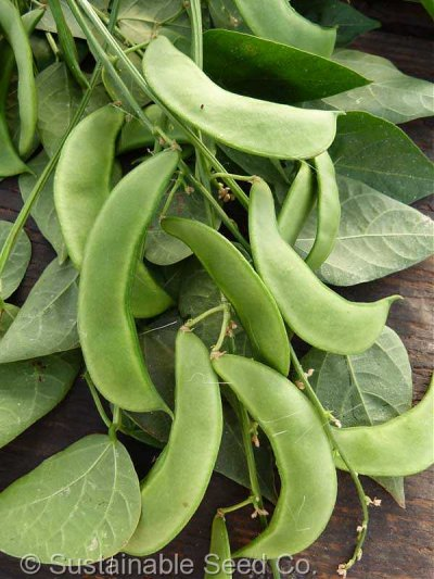 Organic, Lima beans, large, mature seeds, raw