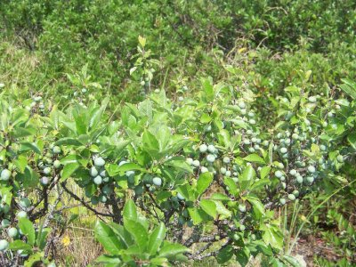 Conserve, Wild Blueberry
