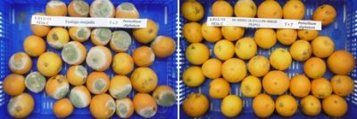 Orange, Without Postharvest Treatment