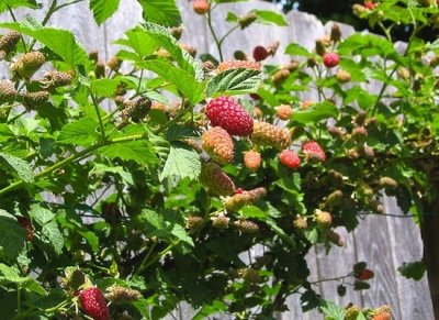 Organic, Berries, Loganberries