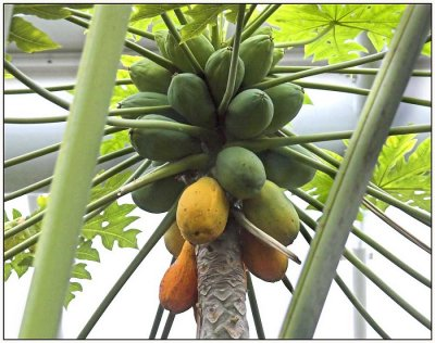 Papaya / Pawpaw, Regular, Large