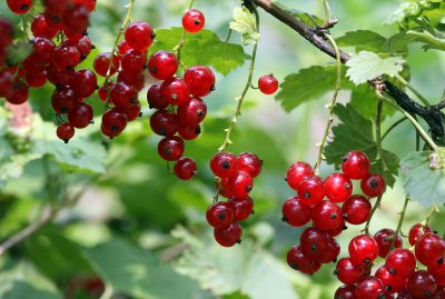 Currants, Red
