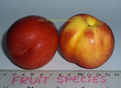 Nectarine, Yellow, Flesh, Large