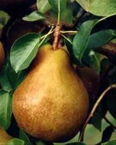 Pear, Taylors Gold