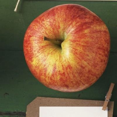 Apple, Cortland, Large