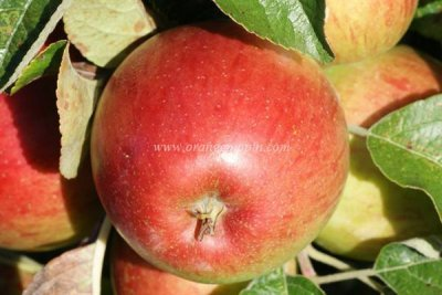 Apple, Haralson, Large