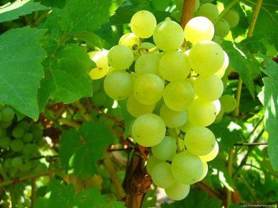 Grapes, Chasselas