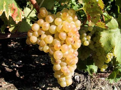 Organic, Grapes, Chasselas