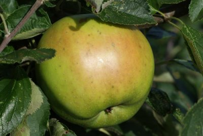 Apple, Greening, (Ri)