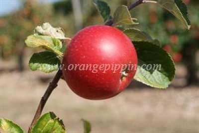 Organic, Apple, Alkmene