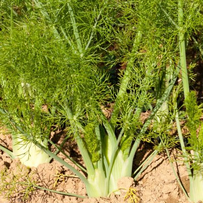 Organic, Fennel, Leaves