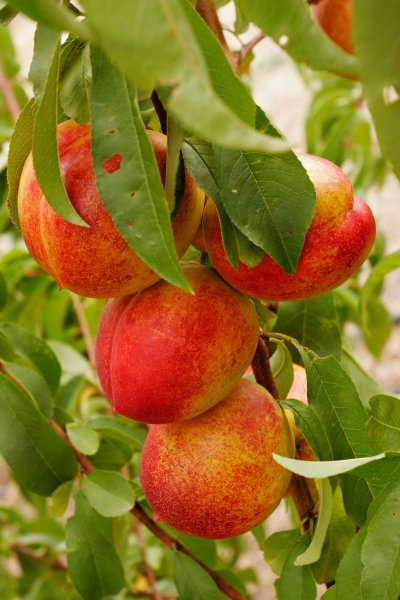 Peach, White, Flesh, Small, Tree Ripened, Ready-To-Eat