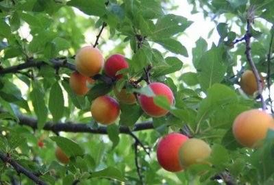 Plum, Tree, Ripened, Small