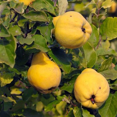 Organic, Quince