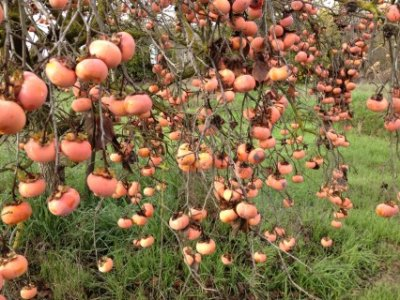 California Persimmons