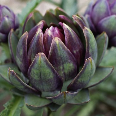 Artichokes, Purple, Large