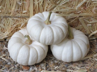 Pumpkin, White, Mini
