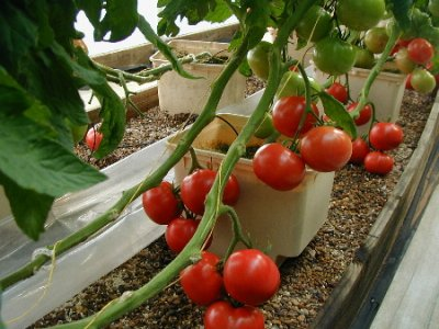Tomato, Greenhouse / Hydroponic / Regular, Small, Red